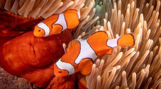 Eastern Clownfish
